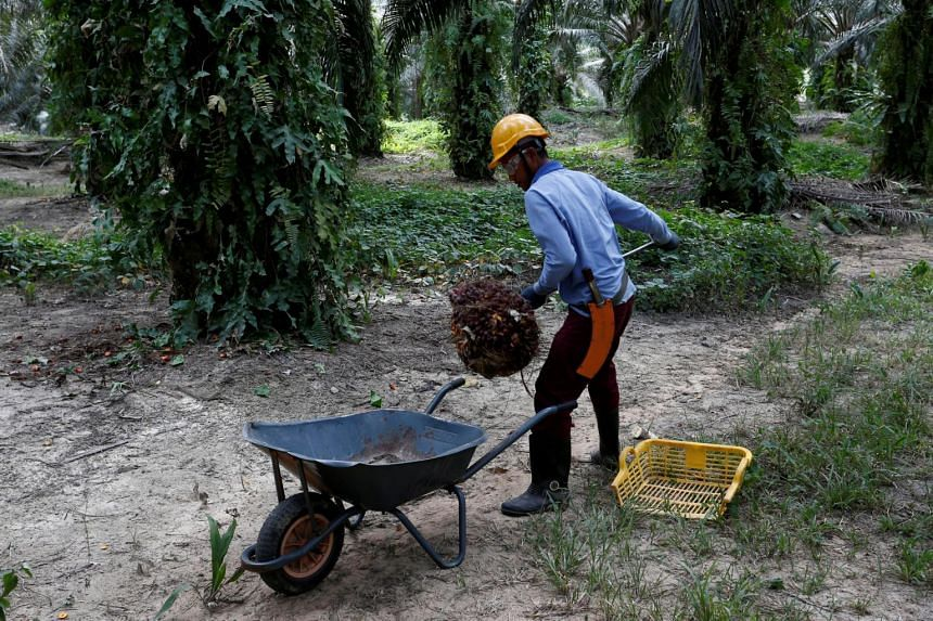 A worker collects palm oil fruits at a plantation in Bahau, Negeri Sembilan, Malaysia.