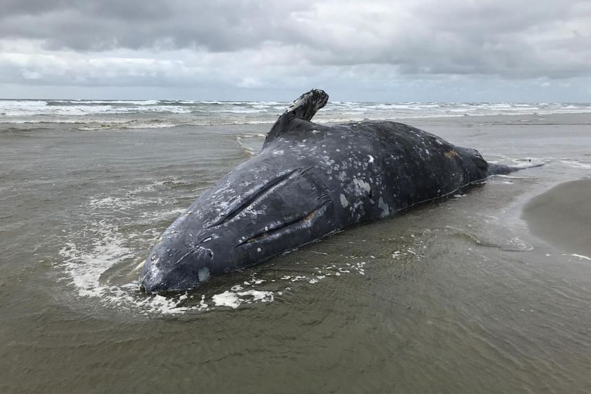 A stranded dead gray whale at Leadbetter Point State Park, Washington, US on April 3, 2019. A necropsy found that it was unusually thin.