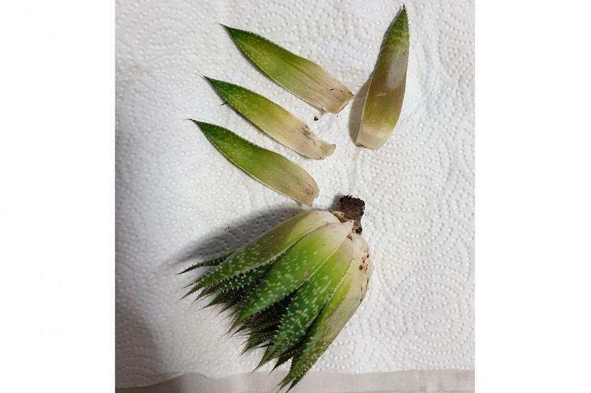 Lace Aloe.