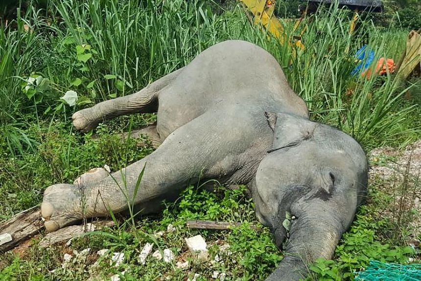 The elephants, believed to be part of a herd of 30 elephants from a nearby forest reserve, were poisoned near a oil palm plantation in Malaysia.
