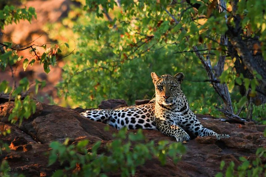 A leopard at the Soutpansberg Mountains in South Africa, on June 25, 2012.