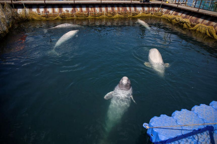 The company that supplies sea mammals to aquariums is one of four firms keeping 10 killer whales and 87 Beluga whales in a controversial facility near the port town of Nakhodka.