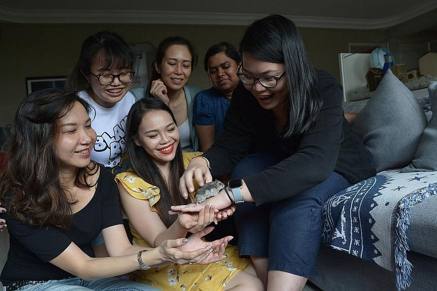 Hamster Society Singapore president Cheryl Capelli (in yellow), 25, playing with hamster Tootsie, alongside other members - (from left) Ms Hong Su Yan, 40, Ms Kwa Li Ying, 23, Ms Dinar Quek, 26, Ms Savitha Suresh, 25, and Ms Chen Soong Fee, 31. As th