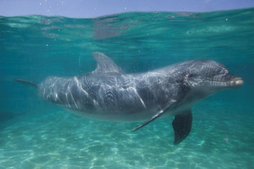 A Bottlenose dolphin swims underwater in a pool at SeaWorld in San Diego, California, on March 19, 2014.