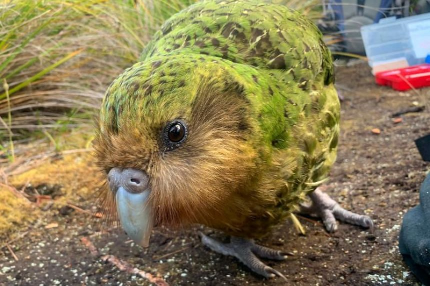 Currently, there are just 142 adult kakapo alive, which have all found refuge from predators on the remote Codfish Island, or Whenua Hou, and Anchor Island, also known as Puke Nui.
