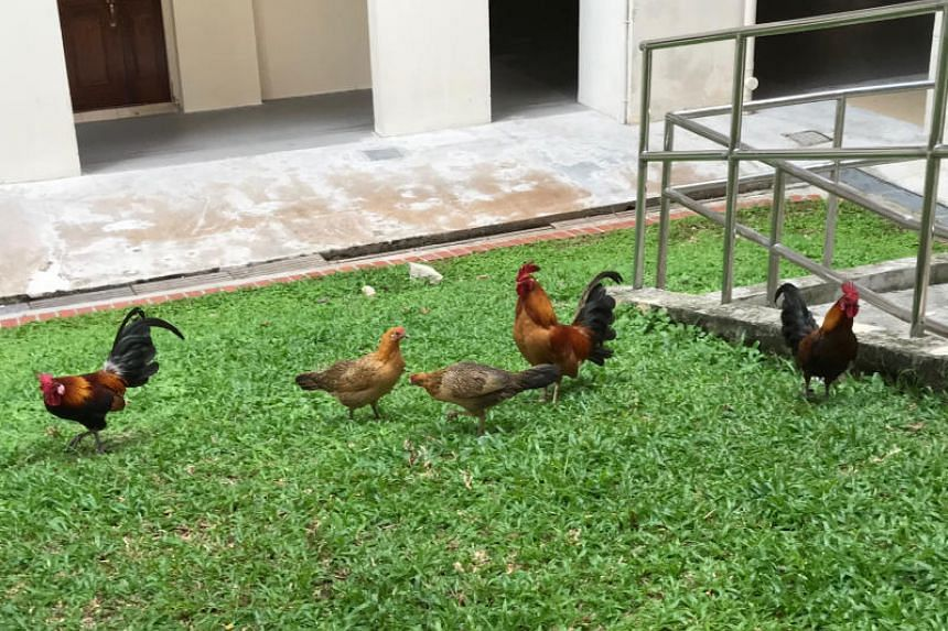 Free-ranging chickens seen walking around at Sin Ming Court estate on May 31, 2019.