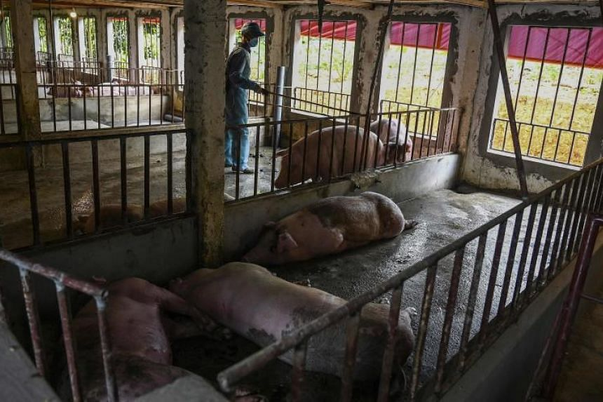 A veterinarian inspects a farm with dead pigs in Hanoi on May 27, 2019.