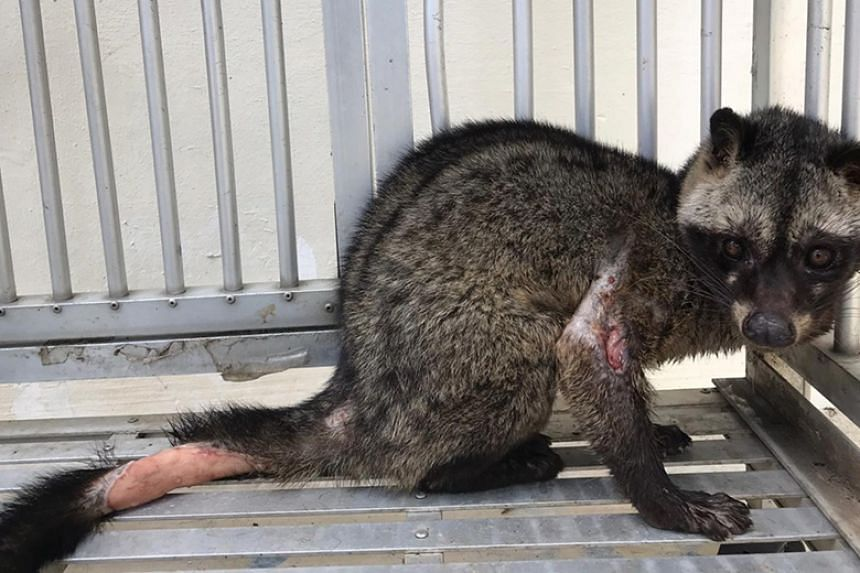The common palm civet was left near the bin centre of Block 13A Bedok South Road.