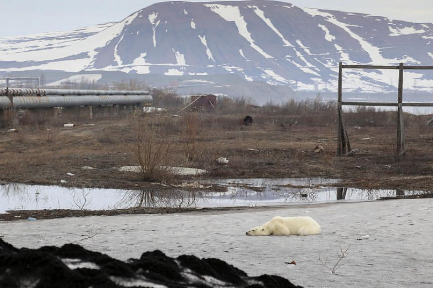 The female bear, visibly weak and seemingly ill, lay despondently on the ground for hours on June 18 in Norilsk's suburbs, occasionally rising to sniff around for food.