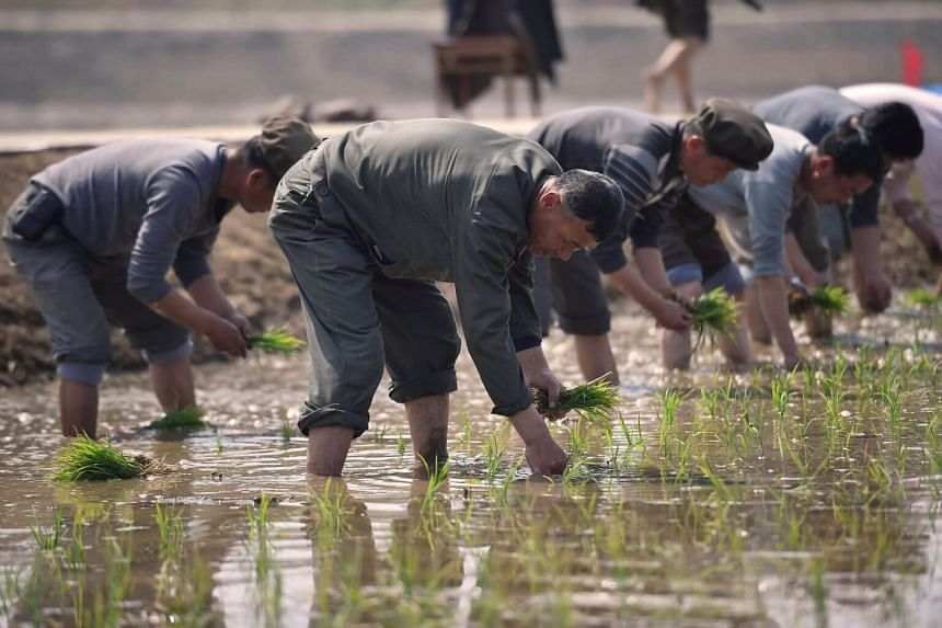 People taking part in an annual rice planting event in Nampho City, North Korea, on May 12, 2019.