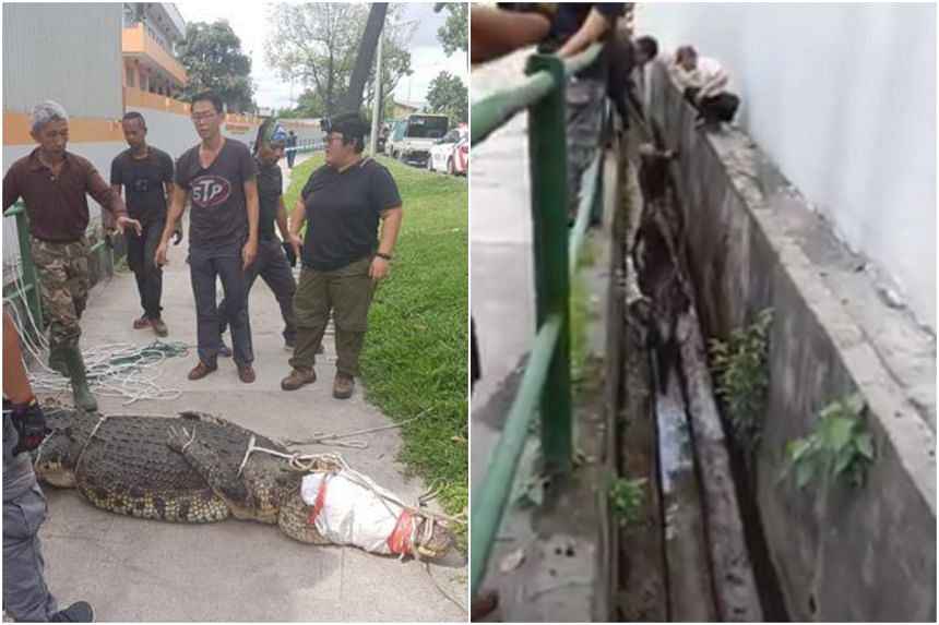 The reptile was spotted in a drain in Sungei Kadut. Officers from the National Parks Board and trained contractors secured and transferred it to a crocodile farm.