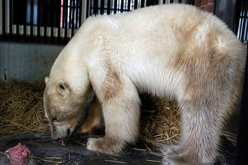 The female polar bear eats meat inside a quarantine cage, after arriving at the Royev Ruchey zoo in Krasnoyarsk, Russia.
