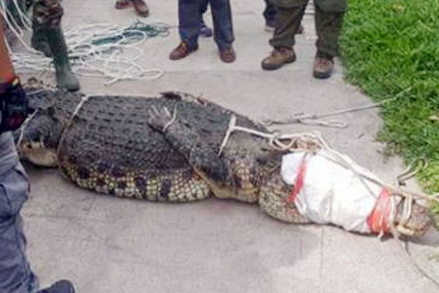 Photos of the crocodile - which was spotted in Sungei Kadut - tied up and lying on the pavement were circulated online. It is believed to be about 3.4m long.