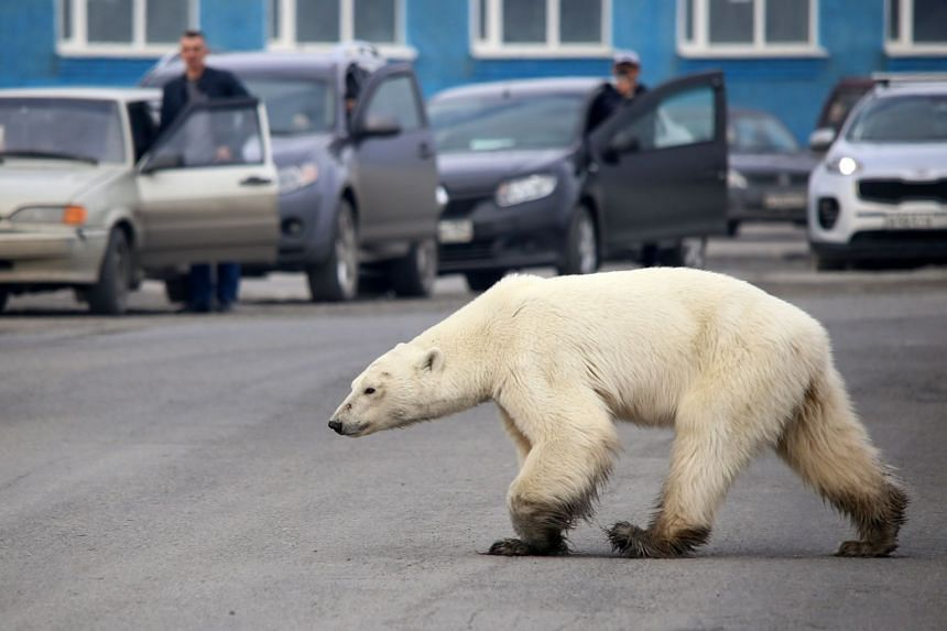 A stray polar bear walks on a road on the outskirts of the Russian industrial city of Norilsk.