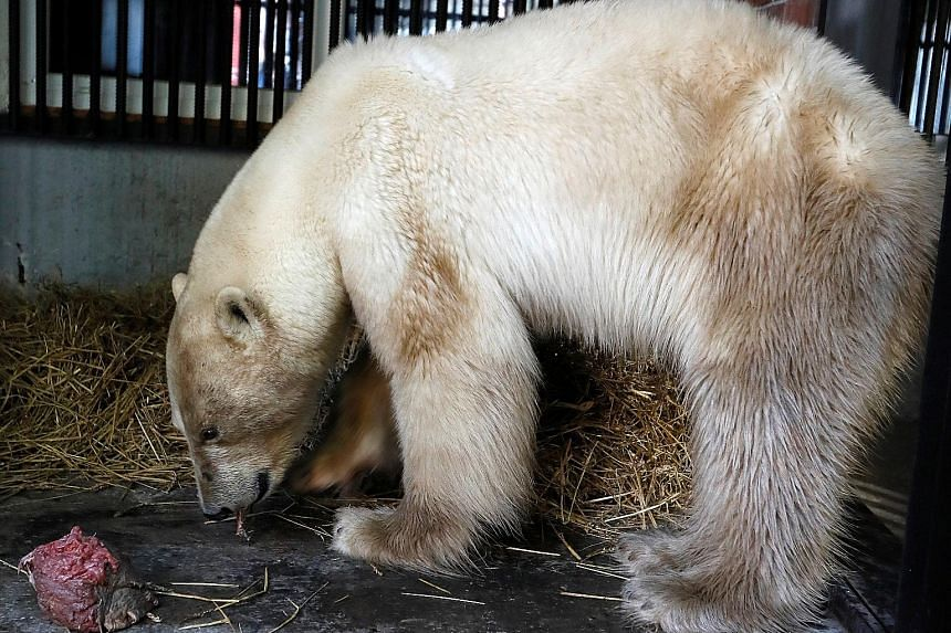 The two-year-old female polar bear had appeared, starving and exhausted, in Norilsk last Sunday. It fell ill and almost died after scavenging for food in a rubbish heap. PHOTO: REUTERS