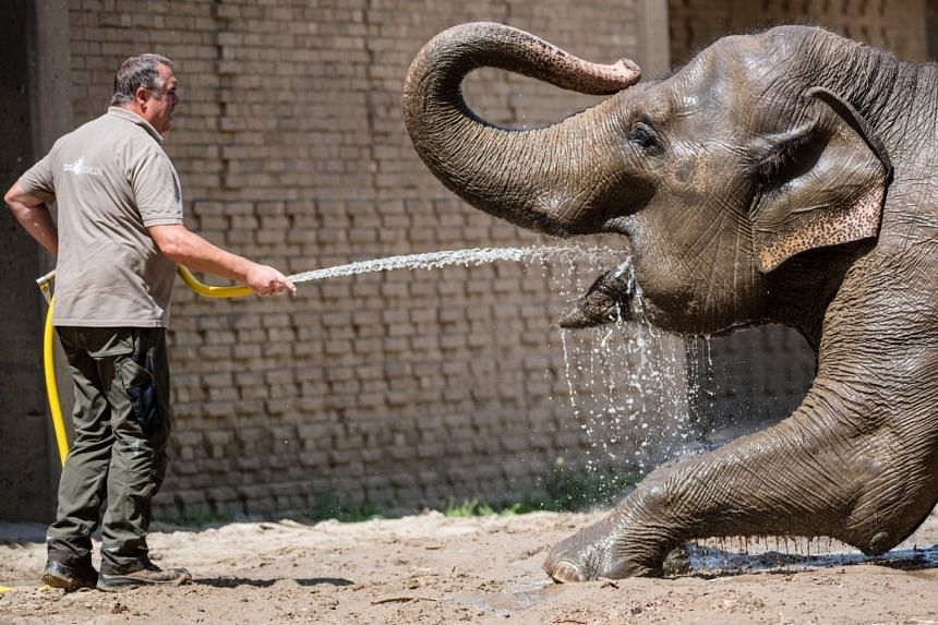 A zookeeper sprays water on an Asian elephant at the zoo in Berlin, Germany on June 25, 2019.
