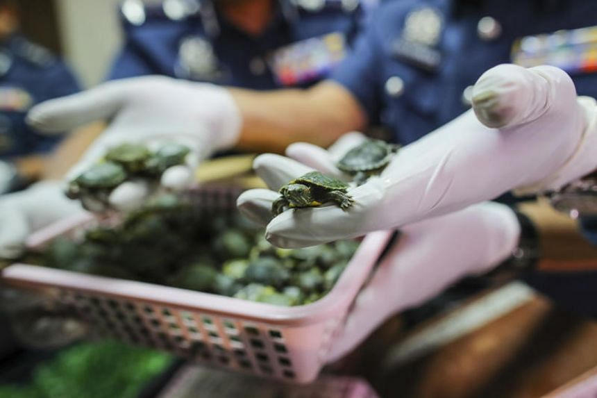 A Malaysian Customs officer displays seized terrapins during a press conference at Custom Cargo Complex near KLIA airport in Sepang on June 26, 2019.