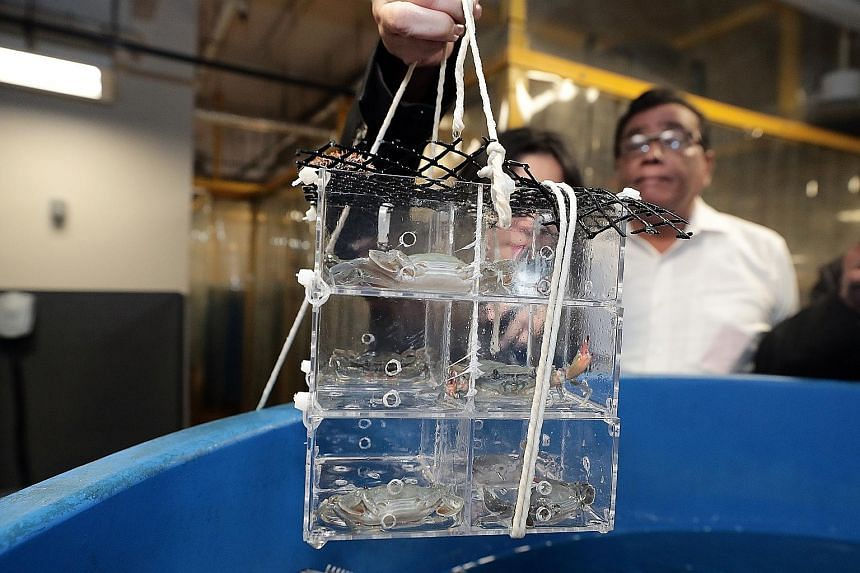 These eight-month-old mud crabs are being grown in individual vertical cages at the Aquaculture Research Facility within the Centre for Aquaculture and Veterinary Science at Temasek Polytechnic. The crustaceans are being reared in a clean and sustain