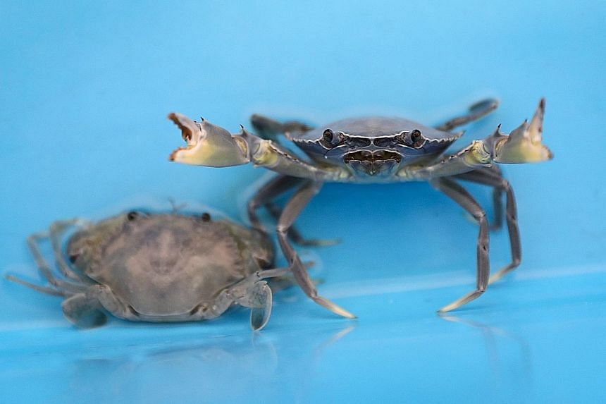 Senior research executives Alan Lee (left) and William Khoo tending to crablets in recirculating saltwater tanks at the Aquaculture Research Facility within the Centre for Aquaculture and Veterinary Science at Temasek Polytechnic. Since mud crabs are
