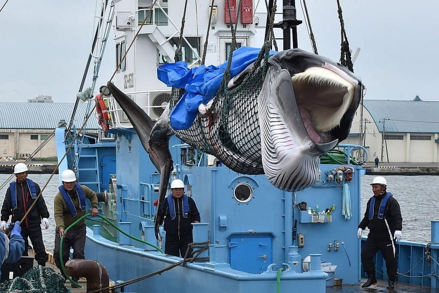 A small Japanese fleet caught its first whales yesterday as Japan officially resumed its commercial whale hunts after more than three decades. In Kushiro, a gritty port city on the northern-most main island of Hokkaido, five whaling ships were waved