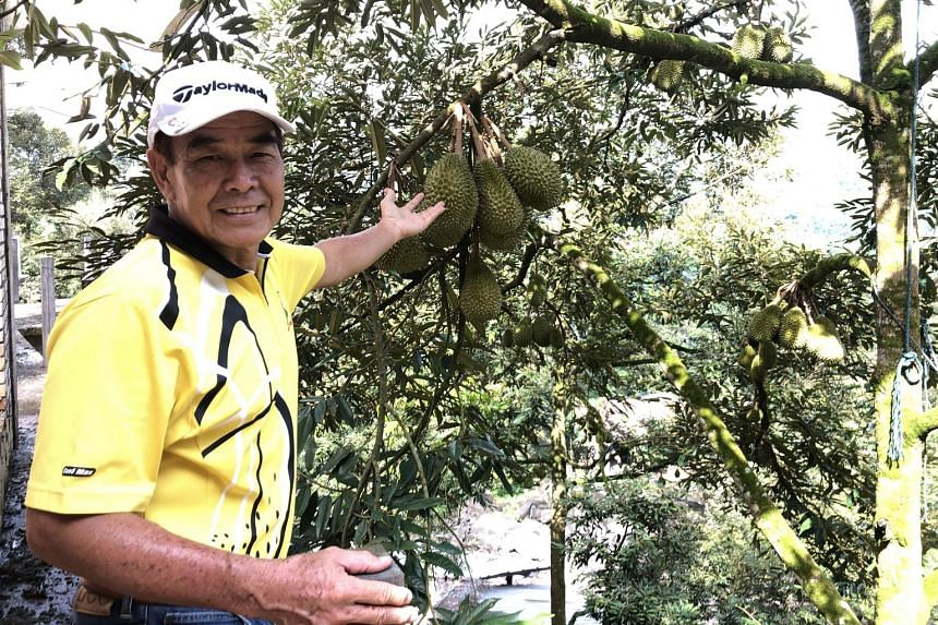 Datuk David Lian with the durian trees on his 8ha plot that is part orchard and part resort where tourists can taste the fruit fresh off the tree. ST PHOTO: TRINNA LEONG