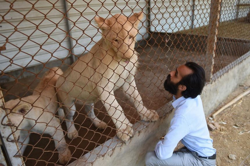 Mr Bilal Mansoor Khawaja, a private zoo owner, looking at his white lions in Karachi on May 20, 2019.