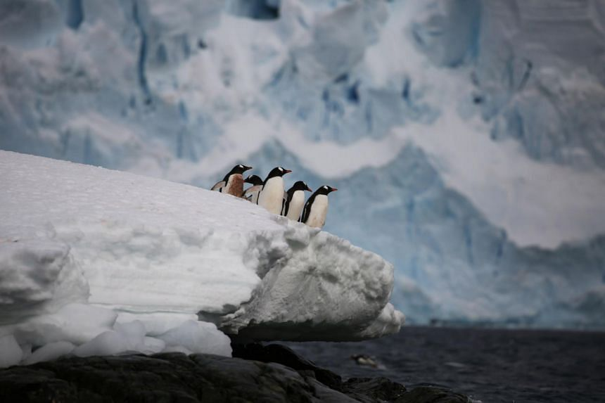Gentoo pengiuns in Antartica. Antarctica is thawing at an increasing rate because of accelerating discharge from glaciers.