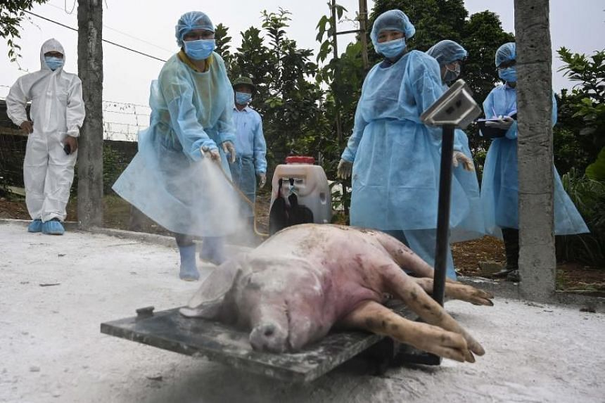 Health officials spraying disinfectant on a dead pig at a farm in Hanoi before burying it in an isolated quarantined pit to stop the spread of African swine fever.