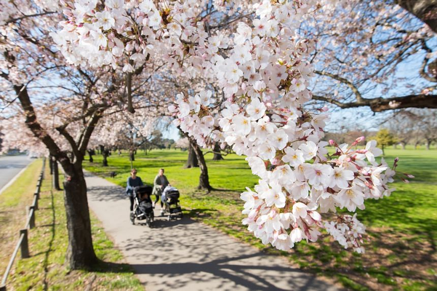 Catch cherry blossoms in full bloom in Christchurch's Hagley Park in springtime. PHOTO: NEIL MACBETH