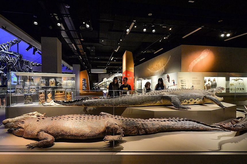 The grain of wheat was found in the stuffing of a 4.7m-long saltwater crocodile on display at the Lee Kong Chian Natural History Museum.