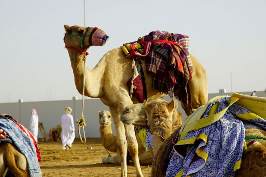 Camels are a key part to United Arab of Emirates' rich heritage. PHOTO: TOURISM DUBAI