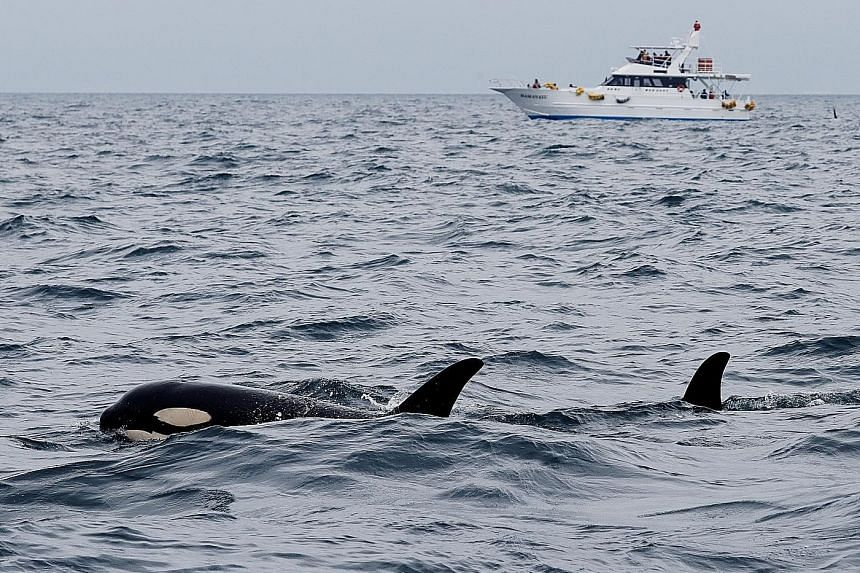 Whale-watching tours bigger than the hunt in Japan, East Asia News