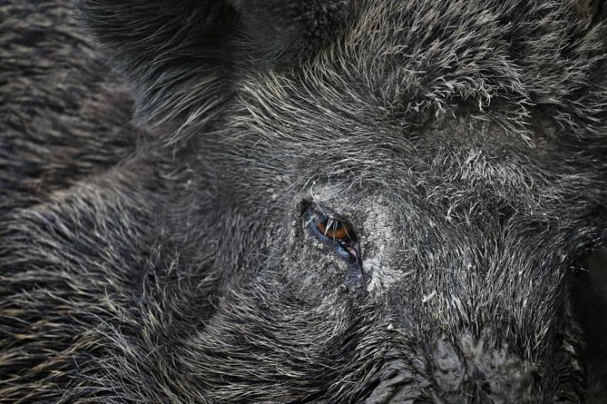 Wild boar boom bittersweet for Chinese villagers, East Asia News