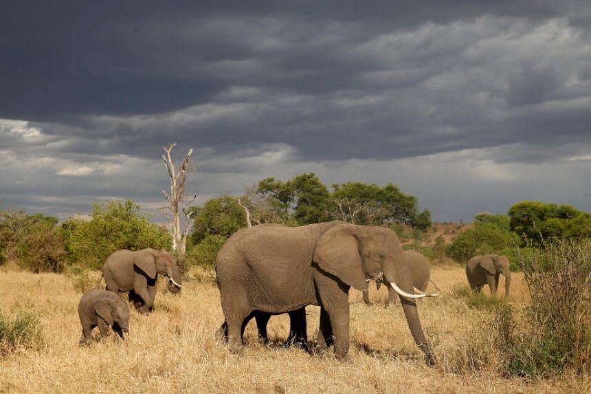 The elephant population in Tanzania shrank from 110,000 in 2009 to little more than 43,000 in 2014, with conservation groups blaming rampant poaching.