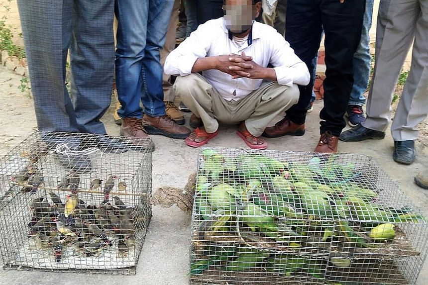 In India, dozens of parakeets (above) were discovered packed tightly in a cage, and the authorities in Uruguay found a cardboard box crammed with saffron finches smuggled from Argentina. Elephant tusks seized by Kenya Wildlife Service. The recent sei