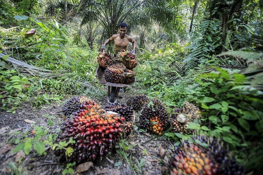 An Indonesian worker harvesting palm fruits at an oil palm plantation. Indonesia is the world's largest palm oil exporter.