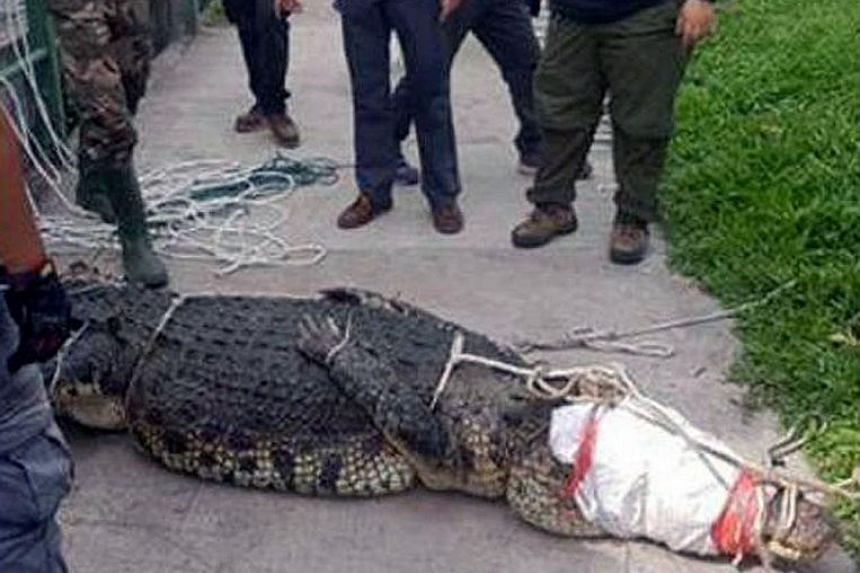 A - which was spotted in Sungei Kadut - tied up and lying on the pavement. It is believed to have entered the Sungei Pang Sua drainage area.