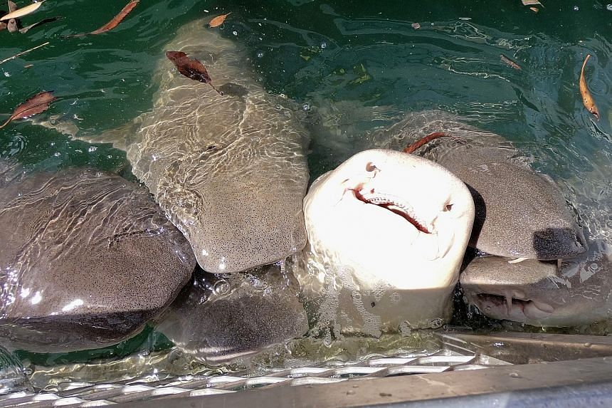 At the Cygnet Bay Pearl Farm, an oyster's pearl sac is sliced open to reveal a lustrous orb. Tawny nurse sharks, with tiny razor-sharp teeth, feature in the rich marine life of Kimberley. (Left and right) To get a full-on experience of the Horizontal