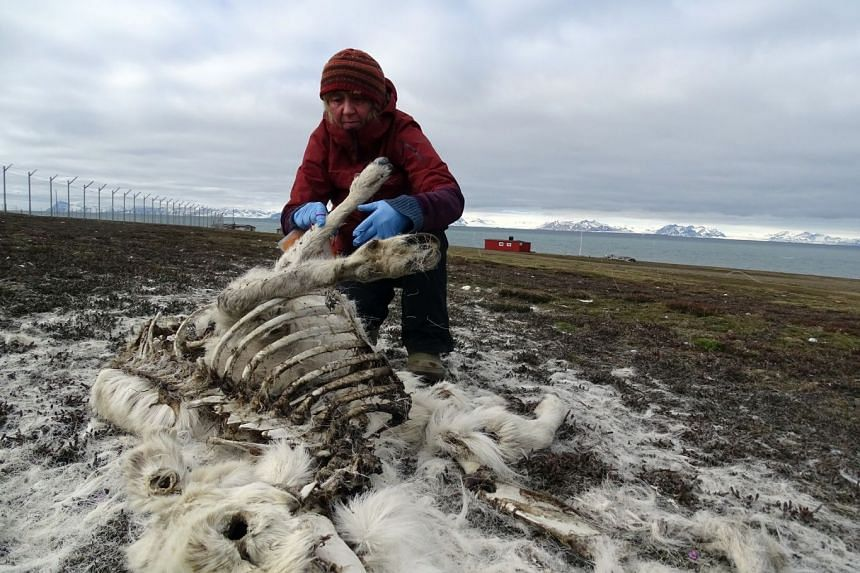 During their annual census of the wild reindeer population on the group of islands in the Arctic ocean, about 1,200 kilometres from the North Pole, three researchers from the polar institute identified around 200 deer carcasses believed to have starv