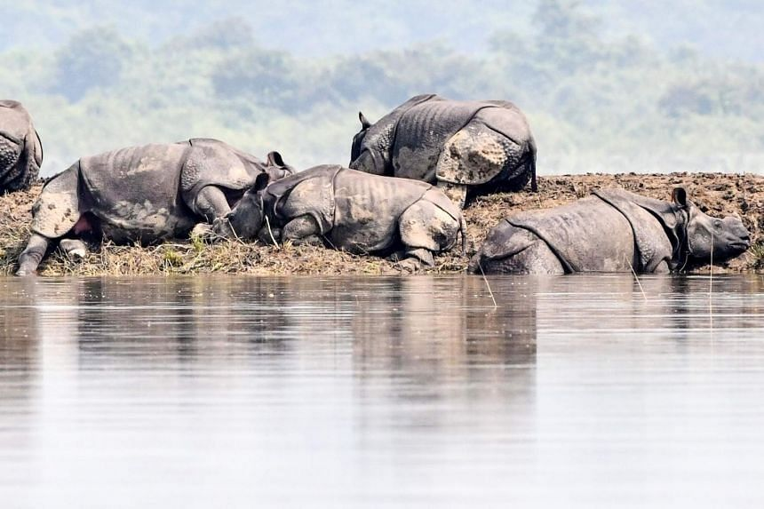 One-horned rhinoceros take shelter on a higher land in the flood-affected area of Kaziranga National Park in the northeastern Indian state of Assam on July 18, 2019.