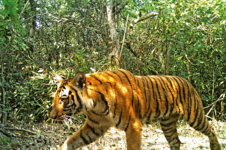 Authorities are planning to capture male tigers from other parts of the forest and introduce them in the Sharonkhola range, which is the densest tiger habitat in the mangroves.