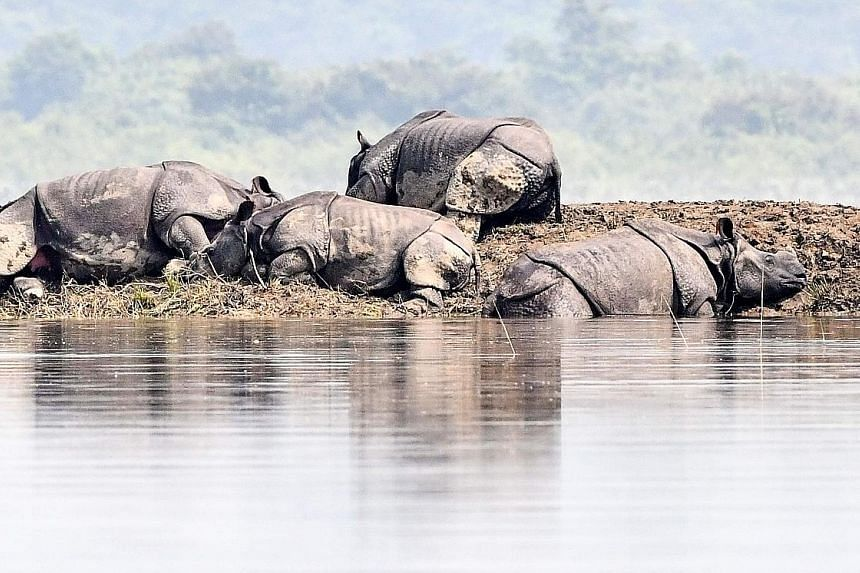 One-horned rhinoceros taking shelter on higher land in the flood-affected area of Kaziranga National Park in the north-eastern Indian state of Assam. The animal death toll has risen to 215. PHOTO: AGENCE FRANCE-PRESSE