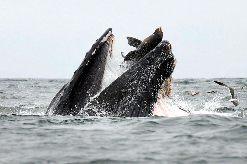 As a group of humpback whales were munching on anchovies, an unlucky sea lion failed to get out of the way in time and ended up inside the whale's mouth.