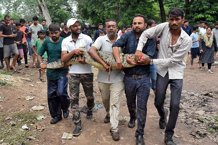 Rescue and forest officials carrying a crocodile away from a water-logged area in Vadodara yesterday. The Indian city experienced nearly 50cm of rain in 24 hours, leaving five people dead, said the police. About 5,000 people were evacuated from their