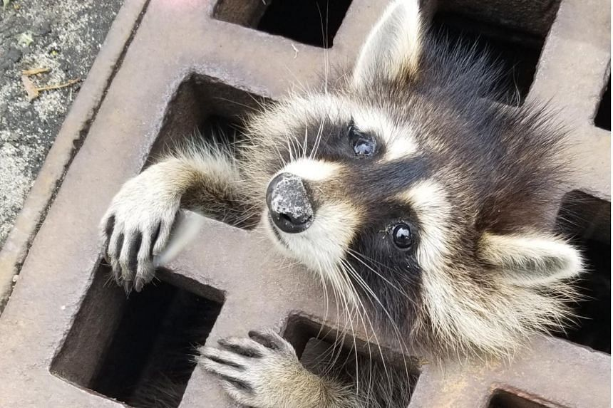 Firefighters were dispatched when a passing cyclist saw the raccoon clinging desperately to the grill, head and tiny paws visible through the metal struts, local media reported.