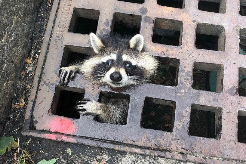 Firefighters rescue raccoon from storm grate