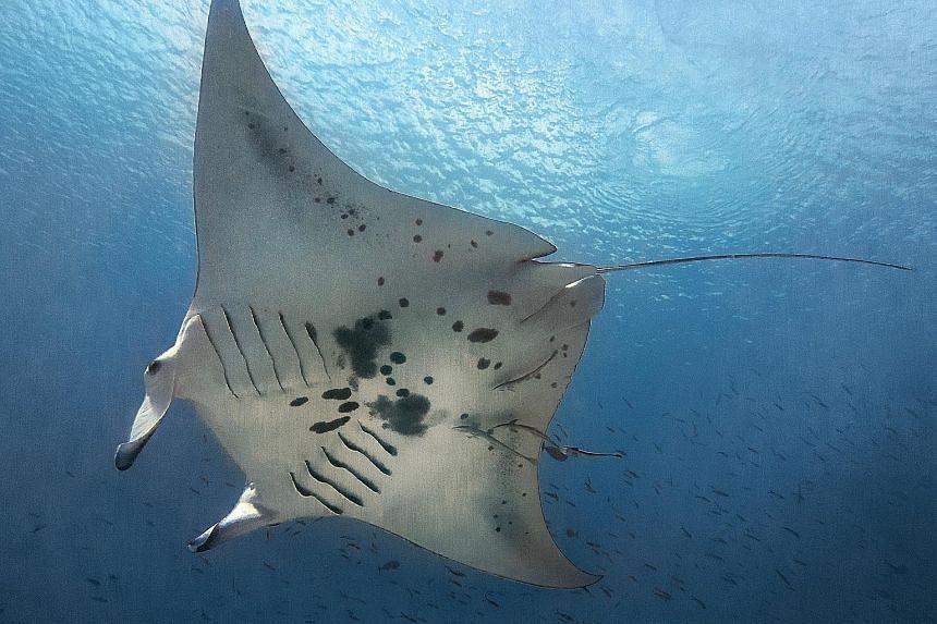 An oceanic manta ray in Raja Ampat.