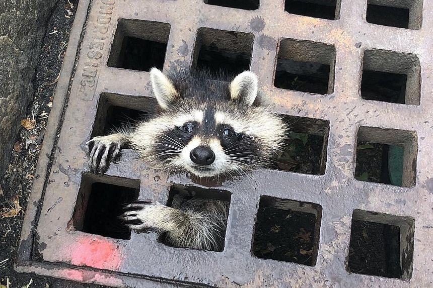 A raccoon getting stuck in a sewer grate in Newton, Massachusetts, last Thursday. Firefighters took two hours to rescue it.