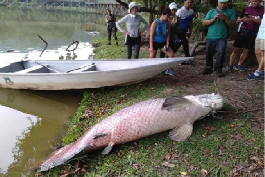 The 108kg fish, measuring about 2.4m in length, was identified as arapaima, a native of the Amazon River.
