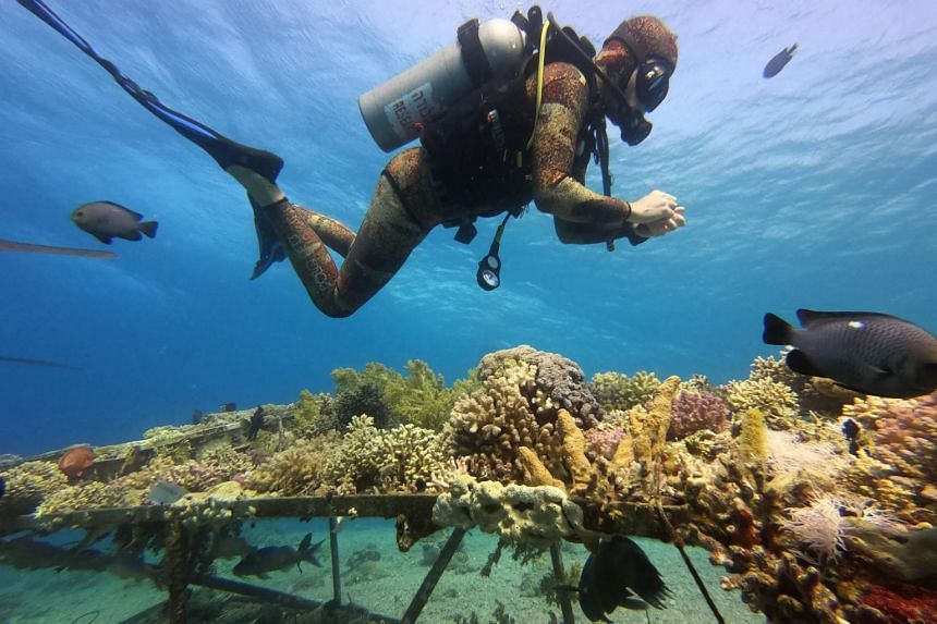 """Repeated """"bleaching events"""" can eventually kill the coral in a process which takes months or years."""